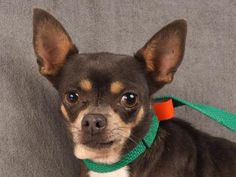 Petango.com – Meet Josie, a 6 years 10 months Chihuahua, Short Coat available for adoption in COLORADO SPRINGS, CO