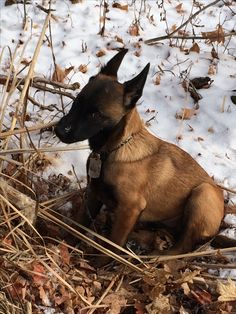 "Does Santa consider chewing on cattails as ""bad""? -Zoey, Belgian Malinois"