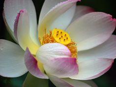 Lotus flower in full bloom - Laureenr Lotus Flower Images, Rose Gift, Orchids, Bloom, Flowers, Gifts, Presents, Favors, Royal Icing Flowers