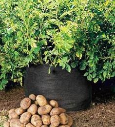 How to grow potatoes (in a trash can).  I really want to do something like this on my balcony!
