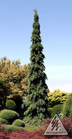 """Picea glauca 'Pendula' is an outstanding weeping selection. In 1958 the Morton Arboretum in Illinois planted this selection from D. Hill nursery, where it was propagated from a tree growing in a native stand near Guelph, Ontario. In 1982, Jean Iseli """"rediscovered"""" the specimen and fell in love with it. It has become one of our favorites for its distinctive formal narrow conical shape. It has very stiffly held and downwardly hanging branches of grayish green foliage. A very stately and…"""