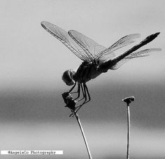 Poetry In Motion    Dragonfly Holding On In the Wind