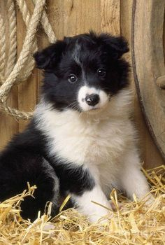 Border Collie Puppy Dog by John Daniels - Dogs - Puppies Perros Border Collie, Border Collie Puppies, Collie Dog, Border Collies, Cute Puppies, Cute Dogs, Dogs And Puppies, Baby Puppies, Baby Animals