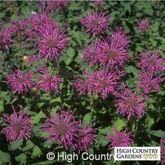Violet Queen is a vigorous hybrid selection that blooms in mid-summer with a tremendous display of deep lavender-pink flowers. A big, strong grower, this Monarda is one of the very best for colorful flowers and garden vigor.