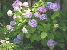 These beautiful, shade-loving shrubs also thrive in pots. Get planting and growing tips, plus find the best hydrangea varieties for pots with help from HGTV. Hydrangea Shrub, Hydrangea Care, Hydrangeas, Hydrangea Landscaping, Garden Landscaping, Landscaping Ideas, Hydrangea Diseases, Hydrangea Varieties