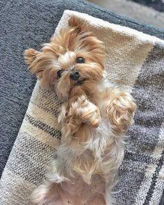 The Brave Yorkshire Terrier Pups Die tapferen Yorkshire-Terrier-Welpen Dandie Dinmont Terrier, Yorkshire Terrier Haircut, Yorkshire Terrier Puppies, Boston Terriers, Little Dogs, Yorkies, I Love Dogs, Cute Dogs, Yorshire Terrier
