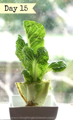 Fun growing lettuce indoors with kids