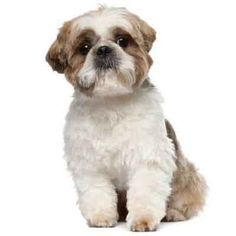 Shih Tzus are some of the most adorable dogs out there, and their fur can be kept clipped or grown long for some great styles. Take a look at these great options for Shih Tzu haircuts.