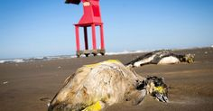 More than 500 dead penguins have washed up on Brazilian beaches in the last week