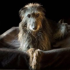 Scottish Deerhound with a soulful expression Big Dogs, I Love Dogs, Cute Dogs, Dogs And Puppies, Doggies, Beautiful Dogs, Animals Beautiful, Irish Wolfhound Dogs, Scottish Deerhound