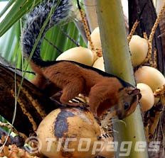 Animals in Costa Rica, Agouti and Squirrel Cute Squirrel, Rodents, Costa Rica, Wildlife, Creatures, Earth, Animals, Animales, Animaux