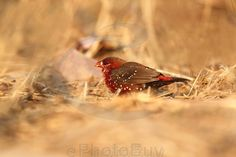 Red avadavat male on dry grassland