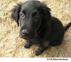 Flat-Coated Retriever - I think we finally figured out what breed Bubba may be.  If this wasn't a stock photo I swear it was him.