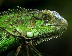 iguana - She's a beautiful thing.
