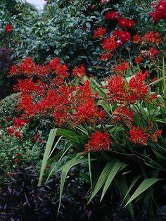 • Darwin Plants - Perennials - Catalog - Bare root