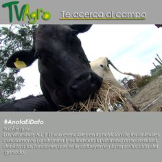 #AnotaElDato Las vitaminas son esenciales dentro de la alimentación del ganado.