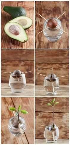 avokado sådan kan man få en avokadoplante ud af en avokadosten