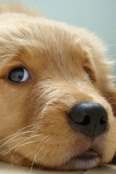 "This is ""the look"" that Golden Retriever puppies always give"
