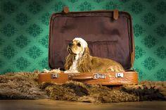 Американский кокер-спаниель (фото): преданный и красивый друг, ловкий охотник Смотри больше http://kot-pes.com/amerikanskij-koker-spaniel-foto-predannyj-i-krasivyj-drug-lovkij-oxotnik/