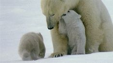 Discover & share this Polar Bear GIF with everyone you know. GIPHY is how you search, share, discover, and create GIFs. Animals And Pets, Baby Animals, Cute Animals, Wild Animals, Polar Bears Live, Vulnerable Species, Bear Gif, Cute Bear, Canadian Wildlife