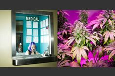 "Nahhah Lieberman (left) sits at a window to check incoming customers' medical marijuana identification at the Medicine Man recreational and medical marijuana dispensary in Denver, Colo. One of Starbuds' newest marijuana strains called ""Look At Sunshine"" (right) grows in the marijuana Flowering Room (also known as the ""Bloom Room"") where cannabis plants grow to final cultivation at a Starbuds warehouse in Denver, Colo."