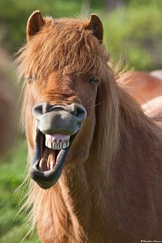 Fljótsdælingur - Happy Horse in east Iceland by skarpi, via Flickr