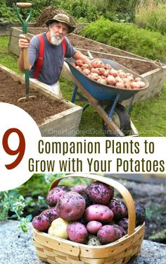 9 Companion Plants to Grow with Your Potatoes - One Hundred Dollars a Month 9 Companion Plants to Grow with Your Potatoes, Companion Planting, Growing Potatoes, Companion Plants for Potatoes Grow Potatoes In Container, Growing Tomatoes In Containers, Growing Vegetables, Grow Tomatoes, Growing Plants, Fall Vegetables, Cherry Tomatoes, Potato Gardening, Planting Potatoes