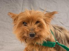 Adopt Tania, a lovely 10 years  4 months Dog available for adoption at Petango.com.  Tania is a Terrier, Yorkshire and is available at the National Mill Dog Rescue in Colorado Springs, Co. www.milldogrescue... #adoptdontshop #puppymilldog #rescue #adoptyourfriendtoday