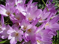 "Autumn crocuses that bloom w/o leaves.  They are called ""Naked Ladies"""