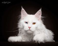 Robert Sijka Captures Stunning Portraits of Maine Coon Cats #inspiration…