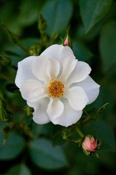 'Cupid' | Climber, Hybrid Tea, Cl., Large-Flowered Climber Rose.  Benjamin R. Cant & Sons (United Kingdom, 1914). | Flickr - © Yoko Nekonomania