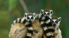Bing Image Archive: Ring-tailed lemurs at Berenty Reserve in Madagascar (© Art Wolfe/Alamy)(Bing Australia)