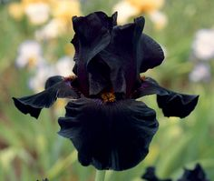 "$7.50 Old Black Magic | Fragrant Iris Tall Bearded, Height: 36"" Color: Dark Black, Bloom Season: Early midseason, Although smaller flowered, it makes up for size by producing a plethora of buds (8-12 per stem). Add the pleasant scent of sweet raisins and you have an irresistible combination."