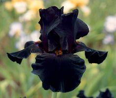 "fragrant Old Black Magic Type: Tall Bearded (TB) Style: Self Height: 36"" Color: Dark Black Originator: Schreiner Year: 1996 Bloom Season: Early midse..."