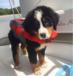 Safety first! This Bernese Mountain Dog is sporting a cute lifejacket, adorable!