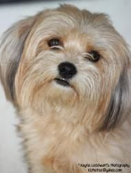 Delilah is an adoptable Shih Tzu Dog in Atwater, CA. Delilah is a shy girl. She is very loving and gentle. She is curious about what goes on around her.    For more information contact Last Hope Cat K...