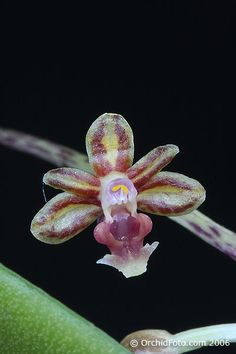 Orchid: Cleisostoma sagittiforme