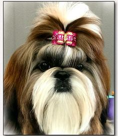 "Shih Tzu-Mr Foos ""Stevie"" modeling a double hearts dog bow by Doggie Bow Ties."