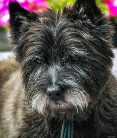 Cairn Terriers, Cairns, Dogs, Animals, Pet Dogs, Animales, Animaux, Doggies, Animal