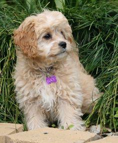 Cavapoo - Cavalier King Charles Spaniel/Poodle