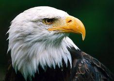 Aigles image #1 - Aigle royal - Partager cette photo sur Facebook, Twitter et WhatsApp.