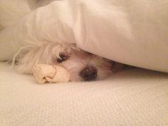 Peek A Boo   Bentley  Maltese   Puppy