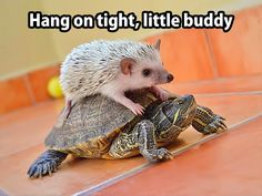 awwwww #hedgehogs #turtles                                                                                                                                                                                 More