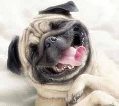 Pug Funny... Very Happy!