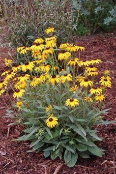Full Sun - Rudbeckia fulgida var. speciosa 'Viette's Little Suzy' Black-eyed Susan - planted 7.18.14 - ALREADY huge 6/2015