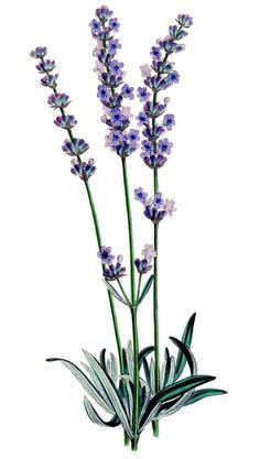 Vintage Stock Image - Lavender Plant - Botanical