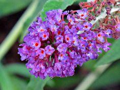 https://flic.kr/p/vyWSjQ | Butterfly Bush, Kentlands IMG_4509 | Kentlands Photowalk, Gaithersburg, Maryland USA Photograph by Roy Kelley Roy and Dolores Kelley Photographs