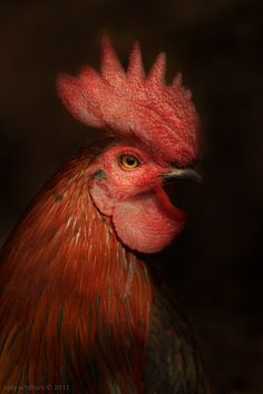 Poultry by cally whitham, via Behance