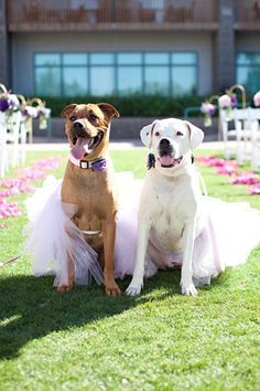Include your dog in your wedding ceremony - these two are dressed up in adorable tutus!    Wedding Inspiration: Incorporating Your Dog Into Your Wedding Day! from the Perfectly Posh Events :: Seattle Wedding Planning Blog