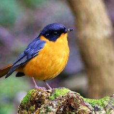 Chorister Robin-Chat, Old World flycatcher: Africa - Western Cape through the Eastern Cape